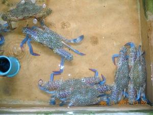 Phuket sea crabs